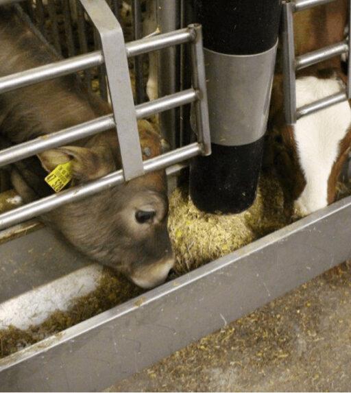 Kalvereren eten met calffeeder